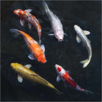 Premium poster Colorful koi carp