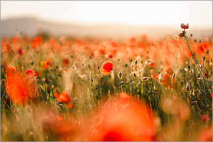 Premium poster Field of poppies in the sunset