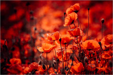 Premium poster Poppies in a red sea