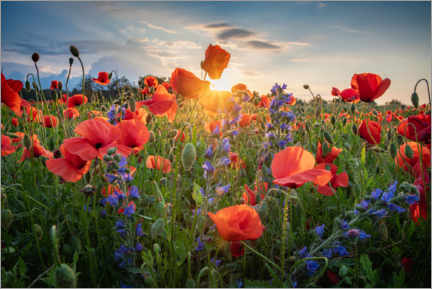 Premium poster Poppy flowers in the evening