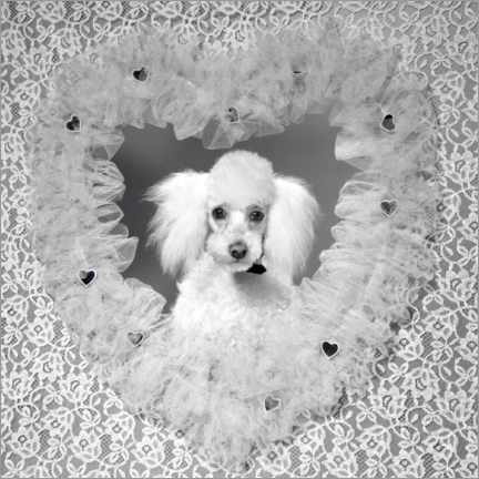 Premium poster French poodle with hearts, 1960s