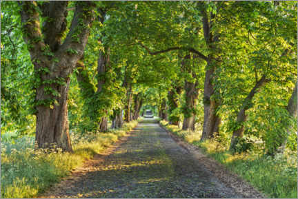 Acrylic print  Chestnut avenue in spring - The Wandering Soul