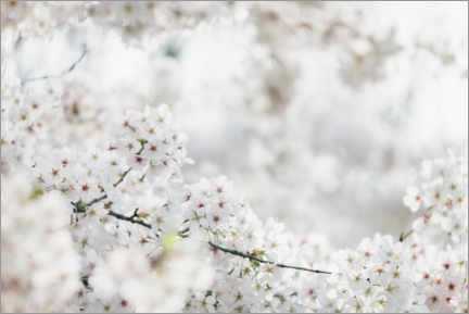 Wood print  White cherry blossoms in the spring sun - Nadja Jacke