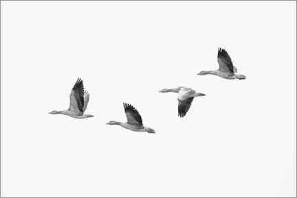 Wood print  Four gray geese in flight - olbor