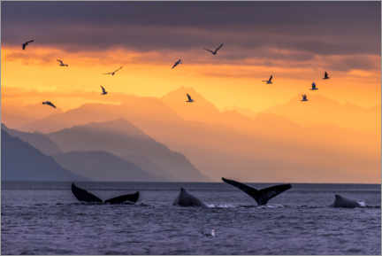 Acrylic print  Humpback whale at sunset with the Chilkat Mountains - Alaska Stock