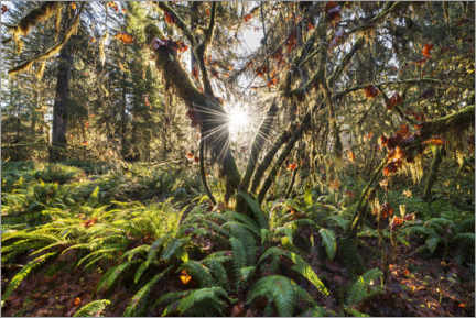 Premium poster  Fall colors in the rainforest in North America at sunrise - The Wandering Soul