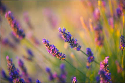 Acrylic print  Lavender in Provence - Vincent Xeridat