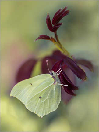 Premium poster Yellow butterfly on dark red branch