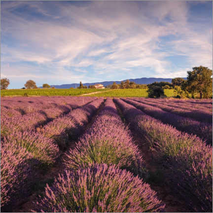 Premium poster Lavender field in Provence, France