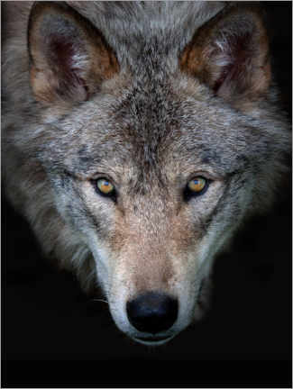 Canvas print  Timberwolf - Jim Cumming