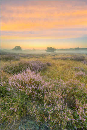 Premium poster Shortly before sunrise in the blooming heather