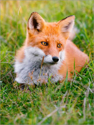 Acrylic print  Portrait of a young fox in the grass - Marcel Gross
