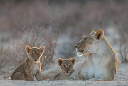 Acrylic print  Lioness with two cubs - Matthias Graben