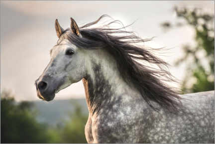 Wood print  Andalusian, gray horse with a fluttering mane - Stephanie Hafner
