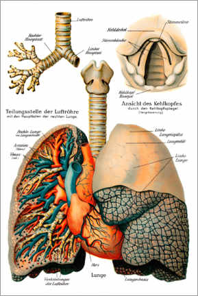Premium poster Respiratory system