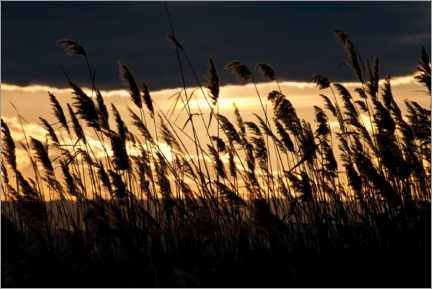 Foam board print  Reeds at sunset - Heinz Hudelist