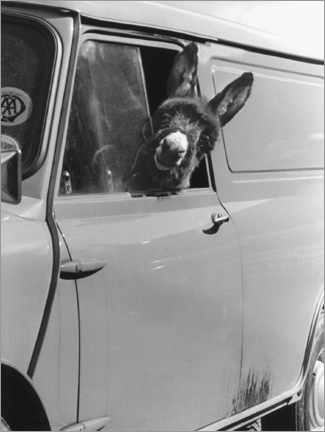 Acrylic print  Donkey looks out the car window - John Drysdale