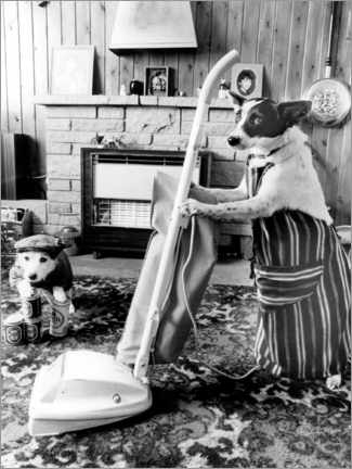 Canvas print  Jack Russell Vacuuming - John Drysdale