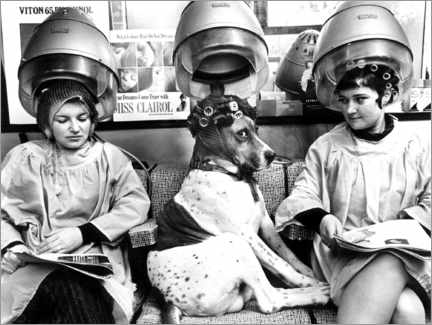 Premium poster  Dog with curlers at the hairdresser's - John Drysdale
