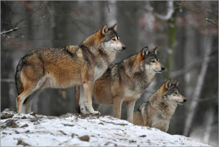 Acrylic print  Timber wolves in the snow - Michael Weber