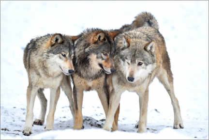 Gallery print  Young wolves play in winter - Michael Weber