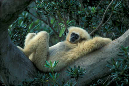Premium poster White-handed gibbon relaxes on a tree