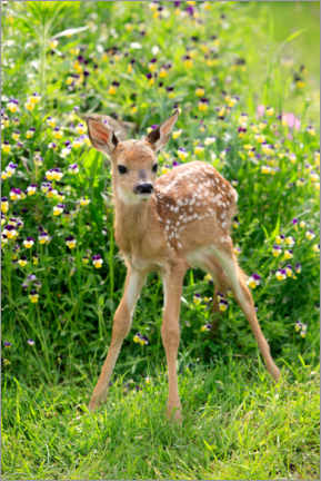 Canvas print  White-tailed deer fawn - Sohns