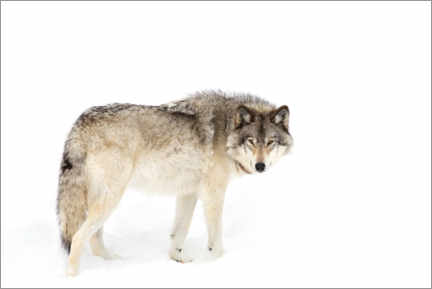 Canvas print  Timber wolf wanders through the snow - Jim Cumming