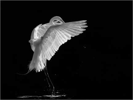 Gallery print  Portrait of a great egret - Kevin Wang