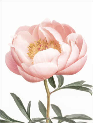 Gallery print  Coral Peony - Sisi And Seb