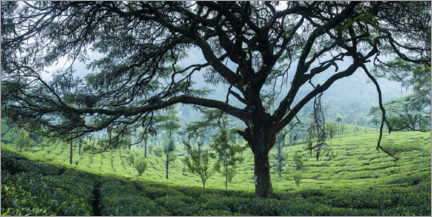 Premium poster  Tea plantation in the mountains of India - Matthew Williams-Ellis