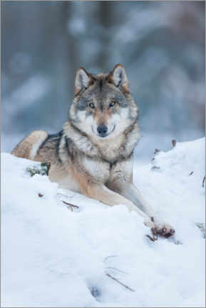 Acrylic print  She-wolf lies in the snow - Frank Sommariva