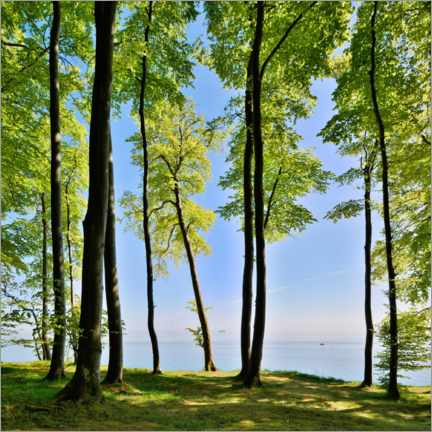 Premium poster May-green beech forest on the Baltic Sea