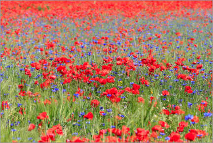 Gallery print  Poppy field and cornflowers - Manfred Schmidt