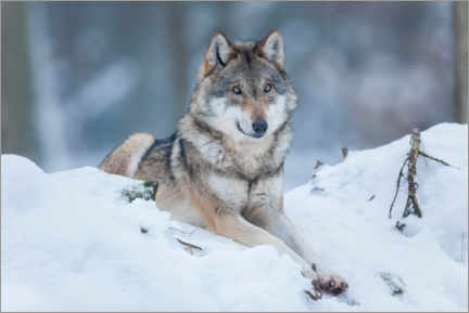 Premium poster  She-wolf lies in the snow - Frank Sommariva
