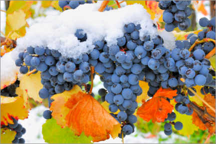 Premium poster Blue grapevines with autumn leaves and snow