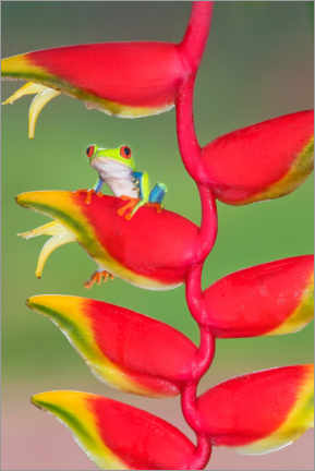 Wood print  Red-eyed tree frog - Marco Simoni