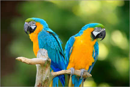 Acrylic print  Yellow-breasted macaws - Jürgen & Christine Sohns