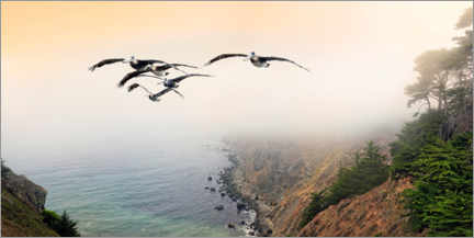 Premium poster Group of brown pelicans