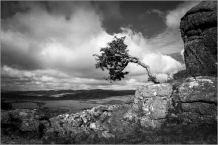 Canvas print  Windswept tree in Dartmoor, England - Matthew Williams-Ellis