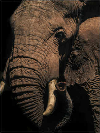 Premium poster Close up of an African elephant