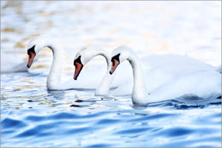 Canvas print  Three swans in the Baltic Sea - Janina Bürger