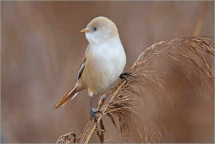 Gallery print  Titmouse in the autumn field - GUGIGEI