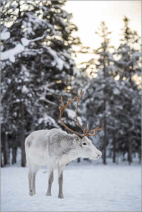 Premium poster Reindeer at Sunset in the Winter Forest