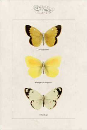 Premium poster  Moorland clouded yellow, cleopatra and pale clouded yellow - Alexis Nicolas Noel