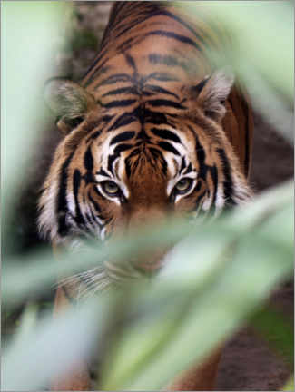 Premium poster Tiger on the prowl