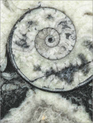 Gallery print  Goniatite fossil - Mark Windom