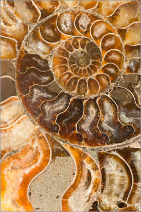 Premium poster  Ammonite fossil - Mark Windom