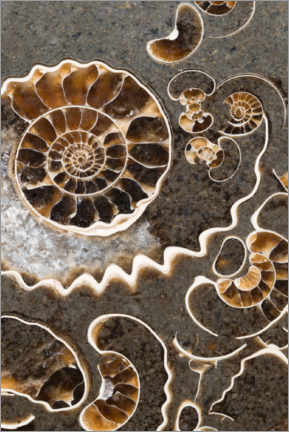Acrylic print  Ammonite fossils - Mark Windom