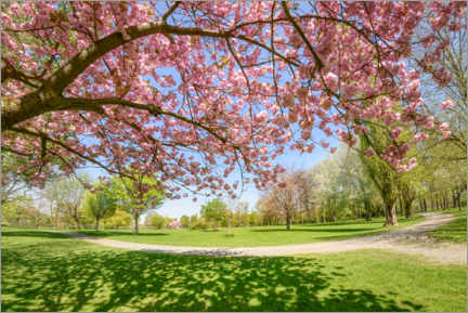 Canvas print  Cherry blossoms in the park - Katho Menden